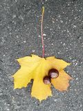 Leaf and chestnut. Falling yellow leaf and chestnut Royalty Free Stock Photo