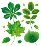Leaf chestnut maple walnut hazelnut Stock Images