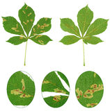 Leaf of chestnut tree attacked by horse-chestnut leaf miner, Cameraria ohridella. Isolated Stock Images