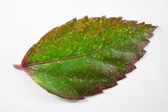 Leaf of Chinese hibiscus flower isolated Stock Image