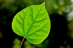 The leaf of chinese redbud Stock Image