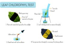 Free Leaf Chlorophyll Test. School Scientific Experiment Proves Photosynthesis In Plants Stock Image - 159165411
