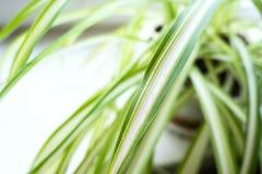 Leaf of Chlorophytum houseplant close up stock photos