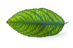 Leaf with Chlorosis Stock Images