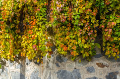 Leaf climbing on stone wall. Autumn leaf climbing on old stone wall Royalty Free Stock Photo