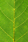 Leaf Close Up. This is a close up shot of green leaf like nice nature background Stock Photography