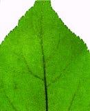 Leaf close-up Stock Images