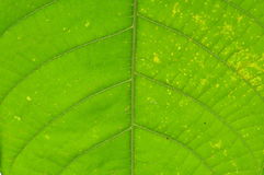 Leaf Close Up Royalty Free Stock Images