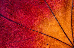 Leaf, close-up Stock Photography