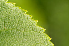 Leaf Close-up Stock Images