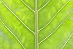 Leaf close-up Stock Photography