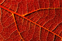 Leaf Close-Up. A red leaf catched with my macro lens for a wallpaper style close up Stock Photography