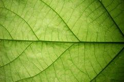 Free Leaf, Close Up Royalty Free Stock Photo - 5812515