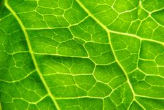 Leaf close up. Leaf structure royalty free stock photo