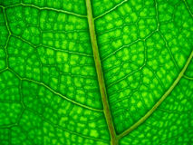 Leaf close up Stock Photography