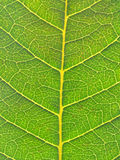 Leaf close up Royalty Free Stock Image