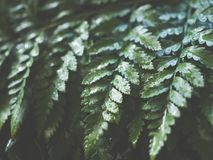 Close up green fern leaf with water drop for background Royalty Free Stock Image