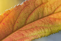 Leaf Close-Up. A close-up shot of a deciduous leaf on a tree during the Summer season Stock Photos