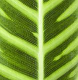 Leaf Closeup. Tropical leaf close up for background Royalty Free Stock Photos