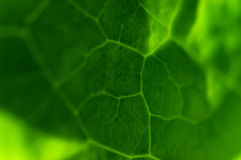 Leaf closeup. A macro closeup of a green leaf Royalty Free Stock Photo