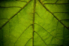Leaf Closeup. Closeup picture of a bright green leaf with sunlight filtering through large veins and deep shadows Stock Photos