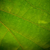 Leaf Closeup. Closeup picture of a bright green leaf with sunlight filtering through large veins and deep shadows Stock Images
