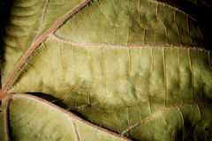 Leaf Closeup. Closeup picture of a bright green leaf with sunlight filtering through large veins and deep shadows Stock Image
