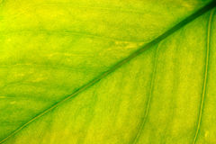 Leaf closeup. Green/yellow leaf closeup Stock Images