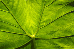 Leaf closeup. Royalty Free Stock Photography