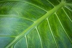 Leaf closeup - elephant ear plant leaf macro,. Leaf closeup - elephant ear plant leaf macro - nature concept background royalty free stock image