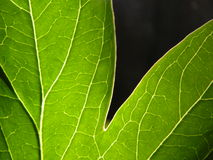 Macro Leaf royalty free stock photo