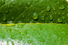Leaf Closeup with Water drops. Closeup picture of a dark green leaf with water drops on the surface and bright yellow veins Royalty Free Stock Photos