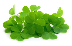 Leaf clover. Isolated on white stock image
