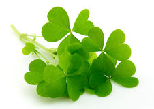 Leaf clover Stock Photography