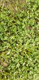 Clover and grass stock images