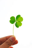Leaf Clover Love. In the human hand Stock Photos
