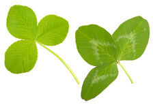 Leaf Clover Royalty Free Stock Photos