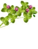 Leaf clover Stock Photo