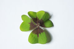 4 leaf cloverleaf as concept of luck Royalty Free Stock Photo
