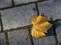 Leaf on cobble stones. Autumn leaf on cobble stones Royalty Free Stock Photo