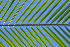 Leaf of Coconut Stock Images