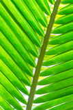 Leaf. Coconut leaves bright green in lavigne sky stock images