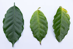 Leaf Coffee Compare. Royalty Free Stock Photos
