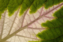 Leaf of coleus Stock Photos