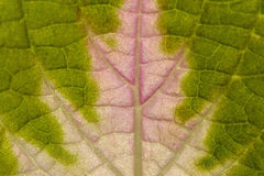 Leaf of coleus Royalty Free Stock Images