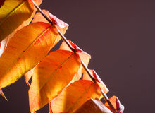 Leaf color Stock Photography