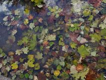 Leaf. Colorful autumn leaves in puddle Stock Photo