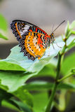 On Leaf. Colorful butterful is standing on leaf Stock Photography