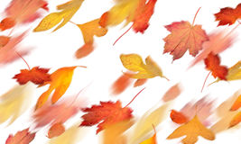 Leaf colors of fall. A flurry of colorful falling autumn leaves royalty free stock photos