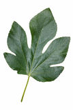 Leaf of common fig Royalty Free Stock Photography